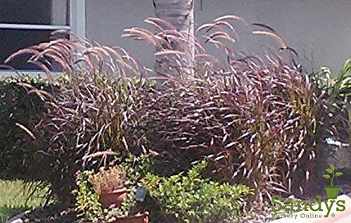 Sandys Nursery Online Grass Red Fountain Pennisetum setaceum Gallon Pot