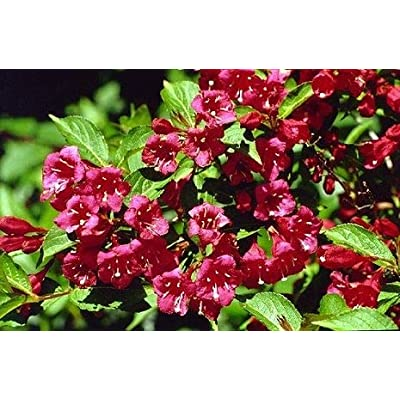 (1 Gallon) Vanicek Weigela : Compact, Rounded deciduous Shrub : Garden & Outdoor