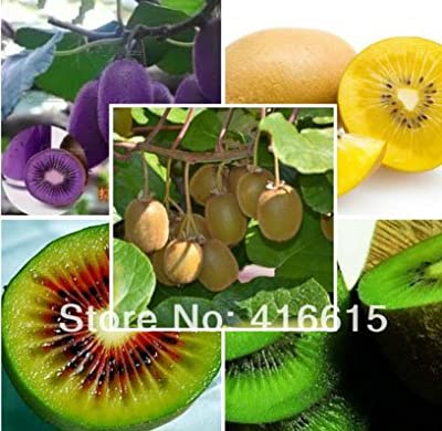 100 Seeds/pack Fruit Seeds,four Kinds Kiwi,red Yellow Green Purple,nutrition Is Rich,very Tasty and Delicious