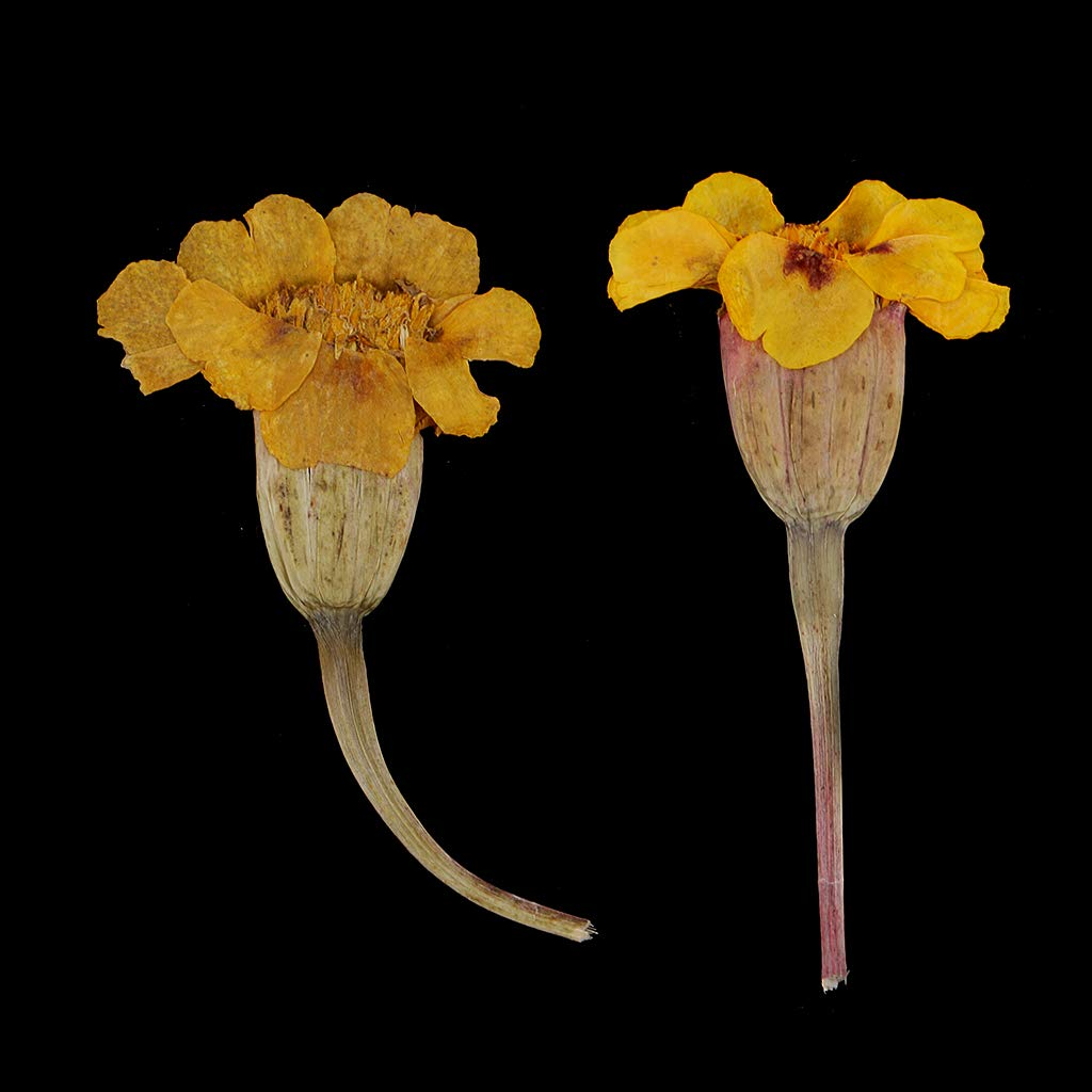 P Prettyia 24 Piezas Flores Secas Prensadas para Fabricaci/ón de Velas Joyas Muestras Colgantes y Dijes Arte de U/ñas Manualidades