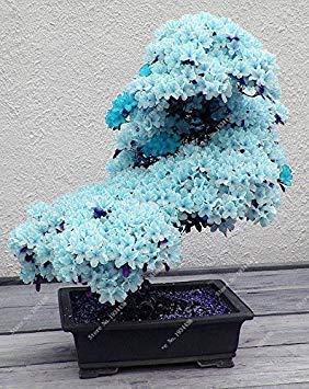 10 pcs Rare Sky Blue Sakura Seeds Seeds Flower Seeds Seeds Plants Cherry Blossoms Seeds Cherry Blossom Tree for Home & Garden