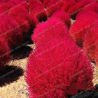 Ix55-500 Pcs Scoparia Bonsai Sowing Perennial Grass Ornamental for Home Easy to Grow : Garden & Outdoor