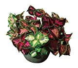 Burpee Rainbow Mixed Colors Coleus Seeds 550 seeds