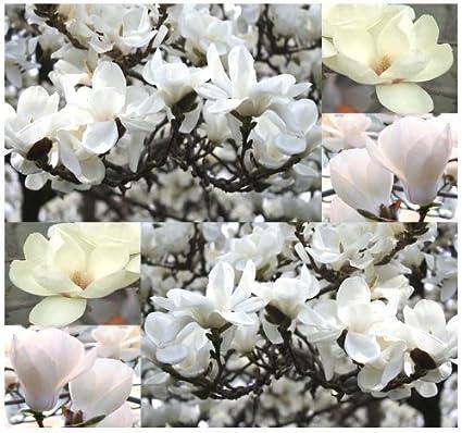 Amazoncom 4 Packs X 5 Yulan Magnolia Magnolia Denudata Tree