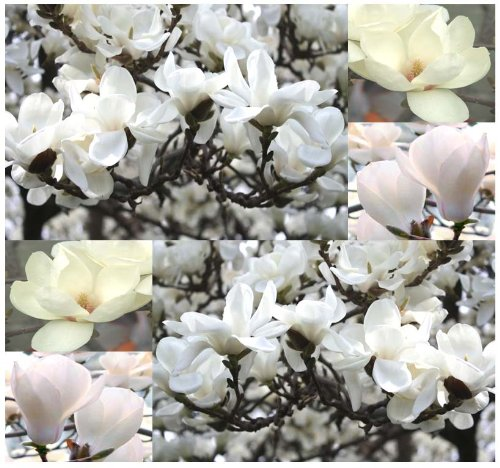 4 Packs x 5 Yulan Magnolia, Magnolia denudata, Tree Seeds SHOWY FRAGRANT FLOWERS - Official City Flower Of Shanghai - Zone 6 - 9 - By MySeeds.Co