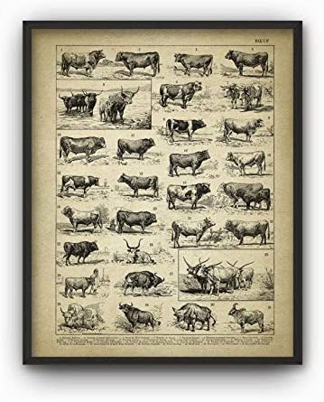 Cattle Farming 1858 Dairy Cattle Normande Antique Cow French Breeds Print Farm Decor French vintage Cow Bull breeds