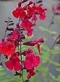 Salvia jamensis 'Silas Dyson'-Deep red flowers-Autumn Sage-10 fresh Seeds