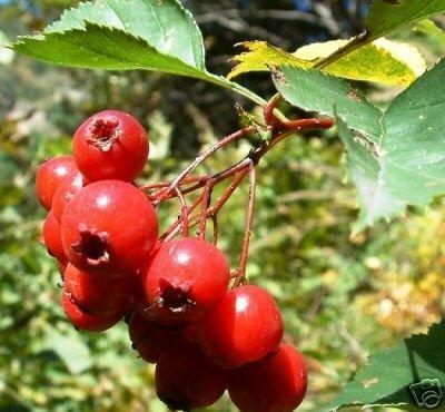 10 Hawthorn Berry Tree Seeds Crataegus Laevigata -