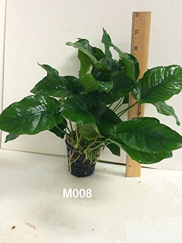 Anubias nana Mother Pot Plant M008 Live Aquatic Plant by Jayco (Image #4)