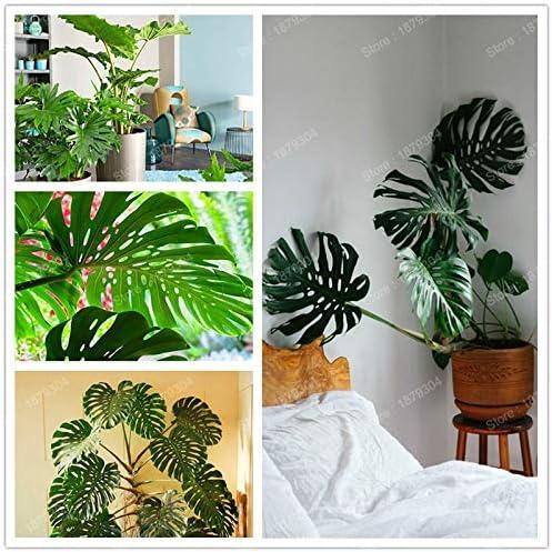 b Pinkdose /árbol de filodendro Plantas Bonsai nueva Perenne flores de plantas en maceta perenne cubierta de purificaci/ón de aire para el hogar y el jard/ín 200pcs 3
