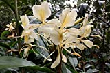 LovelyGarden LIVE Hedychium flavescens Cream Ginger rhizome cold hardy plant fragrant flower