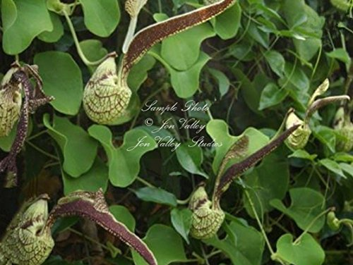 Aristolochia ringens 12 seeds Dutchmans Pipe Shaped Aromatic Flowers Butterflies evergreen woody vine Grow as a tropical or tender perennial