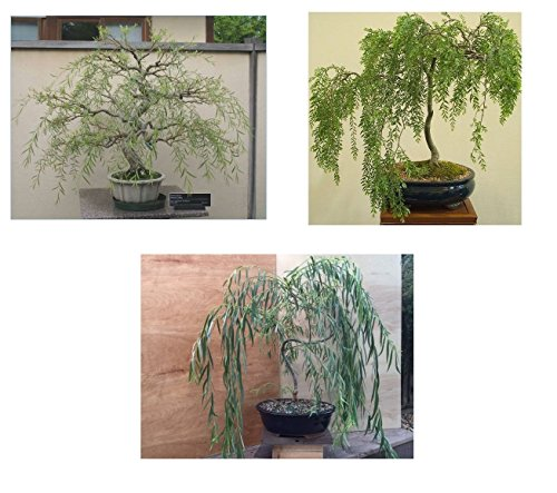 Bonsai Willow Tree Bundle - 3 Large Trunk Bonsai Trees - Get one Each Weeping, Australian, Dragon - Ready to Plant - Indoor/Outdoor Bonsai - Tree Willow Plant