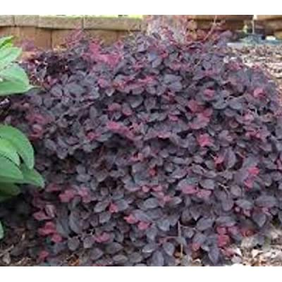 Daruma Dwarf Loropetalum (Chinese Fringe) - Live Plant - Trade Gallon Pot : Garden & Outdoor