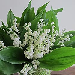 50 Seeds of Convallaria majalis - Lily of the Valley. Gentle pure white bell like blooms swaying on gracefully arched stems!