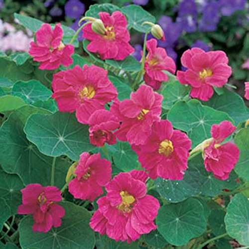 Nasturtium Flower Seeds (tropaeolum nanum) Pink from Ukraine