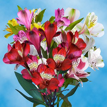 GlobalRose 120 Blooms of Select Assorted Color Alstroemerias 30 Stems - Peruvian Lily Fresh Flowers for Delivery by GlobalRose