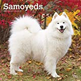 img - for Samoyeds 2020 12 x 12 Inch Monthly Square Wall Calendar, Animals Dog Breeds book / textbook / text book