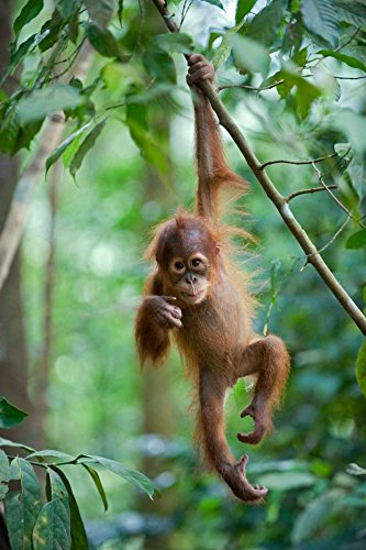 (Sumatran Orangutan one and a half year old baby dangling from tree branch north Sumatra Indonesia Poster Print by Suzi Eszterhas (12 x 18))