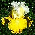 Fancy Lemon Yellow Bearded Iris Roots/Bulbs Garden Plants Iris Seeds Multiply Rapidly Beauty Rebloom Home Balcony Bonsai