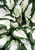 Amazon.com : 3 Containers of Mixed Lenten Rose/ Hellebore ...