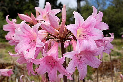 Image result for naked ladies flowers
