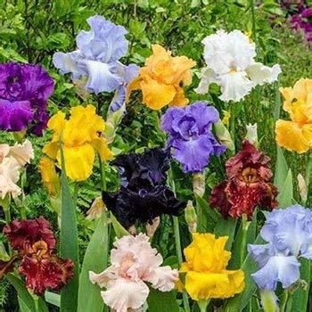 Iris Dutch Grow - SZLD Flower Bulbs - Mixed Iris Bulbs (10 Bulbs) Reblooming Beared Iris Perennial Iris Flowers