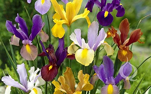 (Dutch Iris Rainbow Mixture (Bulbs), Blue/White Mix Flowering, Perennial - 20 Bulbs)