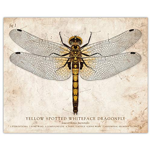 - Yellow Spotted Whiteface Dragonfly Vintage Style Scientific Illustration 8x10