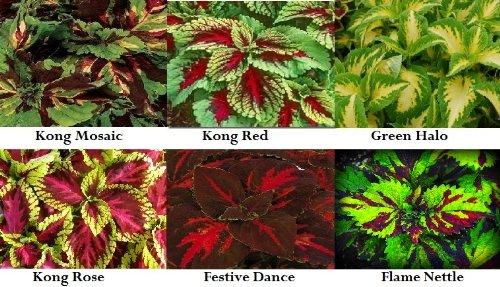 6 Variety Coleus Flower Seed Packs 30 Stratified Seeds Each - 180 Seeds ()