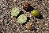 3 Seeds of Argan - Argania Spinosa - ?(L.) Skeels Roem.? & ?Schult. Sapotaceae