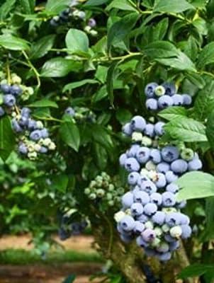 100 Duke Blueberry Seeds