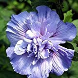 Blue Chiffon ™ Hibiscus syriacus 'Notwoodthree' - Rose of Sharon - Proven Winner