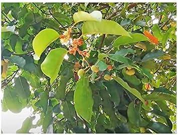 Bakul-Baum Spanische Kirsche Mimusops elengi 5 Samen