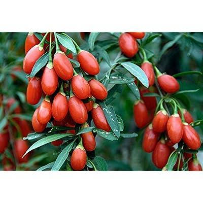 110 Goji Berry Seeds Lycium Chinense Easy to Grow Heavy Fruit Producer Non GMO : Garden & Outdoor