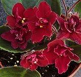 LovelyGarden African Violet Tomahawk Pair Leaves