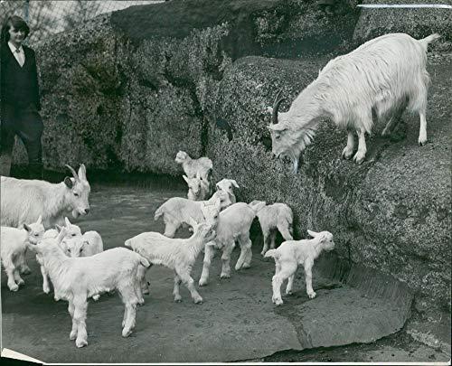 - Vintage photo of Twelve Cashmere goat39;s kids at London Zoo