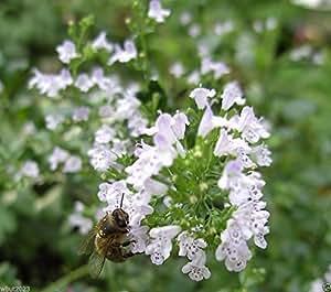 100 CALAMINTHA Nepeta Seeds,(Lesser Calamint) Perennial
