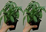 "BASIL THAI Live Plant - 2 Live Plants Fit 3.5"" Pot"