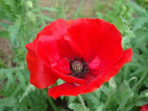 Flower Seeds - 1500 Seeds of Red Shirley Corn Poppy Easy Grow Bedding (Poppy Garden Grow Pot)