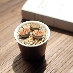 2 Lithops bombillas (sin semillas) la mini flor culo Planta carnosa raro estar Flor de piedra Bonsai bricolaje para Jardín y casa del ornamento en maceta 2