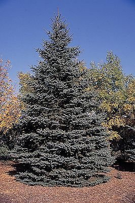 1 Blue Spruce Xmas Tree,Picea Pungens Glauca 30-50cm.Lovely Blue Pine Needles 3fatpigs® beechwoodtrees 3fatpigs®