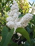 New WHITE TREE LILAC Hummingbird Flower Fragrant Peking Syringa Pekinensis 20+ Seeds