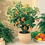 1 Starter Plant of Tangerine Citrus Tree