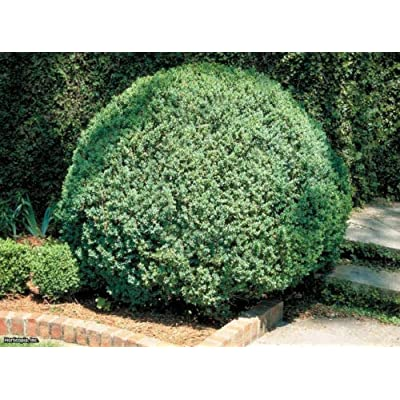 AchmadAnam - Live Plants - American Boxwood - Traditional Evergreen Hedge - Quarts : Garden & Outdoor