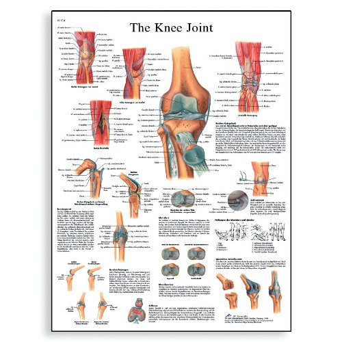3B Scientific VR1174UU Glossy Paper Knee Joint Anatomical Chart, Poster Size 20-Inch Widthx26-Inch Height