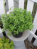 Galium odoratum (Sweet Woodruff) Perennial, white flowers, 1 - Size Container