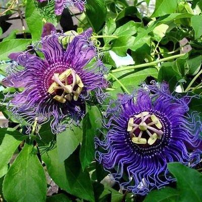 - Purple Passion Flower Vine Seeds (Passiflora Incarnata) 60+Seeds