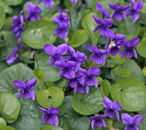 15+ Viola odorata Queen Charlotte, Violet/Edible Perennial Shade Flower Seeds