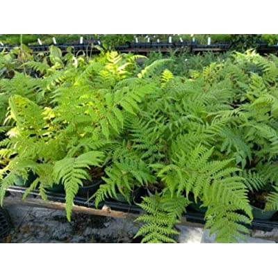 "AchmadAnam - Live Plant Cyathea Cooperi Australian Tree Fern Exotic Houseplant 6"" Pot Indoor : Garden & Outdoor"